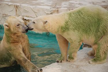 Green bears