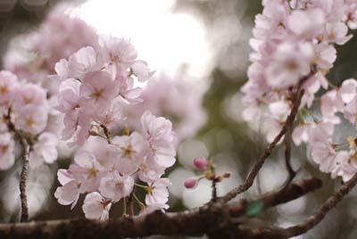 Sakura ise